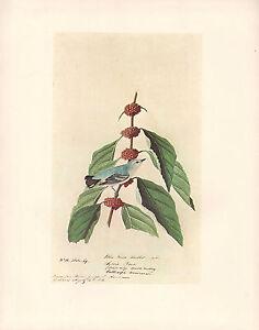 Vintage John James Audubon Uccello Stampa ~ Cerulean