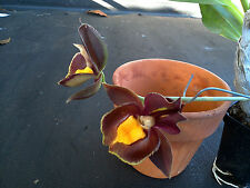 "Catasetum"" Special"",10 Plants! New Hybrid! Near Bloomig Size!,Free Shipping!"