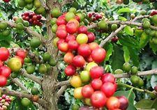 geschält Samen frischem Kaffee G 50 Samen der Coffea arabica geschält