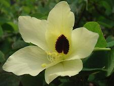 20 Semi freschi di Bauhinia tomentosa Pianta delle farfalle orchidee seeds korn