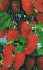 Rubus idaeus 'Schönemann' - rote Himbeere