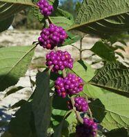 Beauty Berry | Callicarpa Americana | Edible | Florida | 2021 | 25+ Seeds