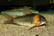 10 (ten) x Corydoras sp. aff. eques (Catfish)