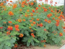 MEXICAN RED BIRD OF PARADISE PLANT 25 SEEDS BEST BUY
