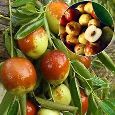 10pcs Giant Jujube Seeds Fruit Bonsai Date Palm Zizyphus Perennial Plant Seed