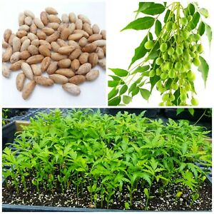 50 units Neem Tree Dried Seeds Nimtree Azadirachta Indica Quality Grow Your Own