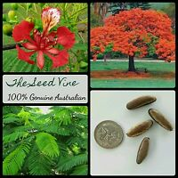 10+ ROYAL POINCIANA TREE SEEDS (Delonix regia) Bonsai Red Flowering Tropical