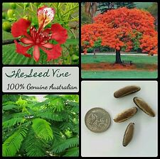 10+ ROYAL POINCIANA TREE SEEDS (Delonix regia) Bonsai Red Flowering Tropical