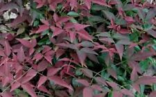 Nandina, Harbour Dwarf Heavenly Bamboo plants, 100 plants, FREE delivery