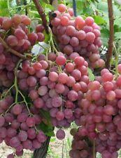 Giant Red Globe Raisin Vigne Fruit Plante Graines!, d'énormes fruits! Hardy, affectations etc