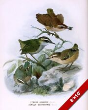 SMALL BIRDS WRENS OF NEW ZEALAND ILLUSTRATION PAINTING ART REAL CANVAS PRINT