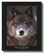 Eyes Of The Wild Wildlife Series Snow On Face Wolf 8x10 Wall Art Print Picture