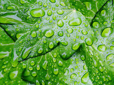 NATURE PHOTO WATER DROPS IVY LEAF WALL ART PRINT PICTURE POSTER HP2676