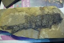 More details for rare early fossil fish from orkney scotland. cheirolepis trailli early devonian