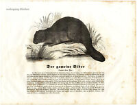 The Common Beaver, 1841 Original Antique Wood Engraving.