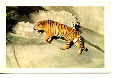 Sumatran Tiger-Big Cat Animal-San Diego Zoo-California-Vintage Postcard