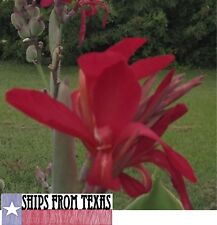 RED CANNA INDICA, INDIAN SHOT, BRILLIANT, VERY SHOWY, 100 FRESH HOMEGROWN SEEDS