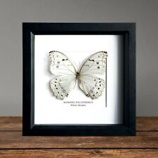 White Morpho Butterfly in Box Frame Taxidermy Insect Art