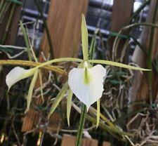 Brassavola Orchid Species flagellaris Bs plant mounted!