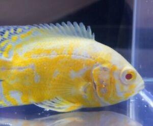 """2"""" plus Premium Lemon Oscar Cichlid Imported South America Tropicalfish aquarium"""