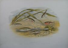 """Fish - Sticklebacks For Houghton'S """"Fresh Water Fishes"""", 1879"""