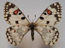 Butterfly Papilionidae Hypermnestra helios female