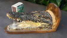 Belle tête de crocodile alligator naturalisé gueule ouverte. Étrange, curiosité