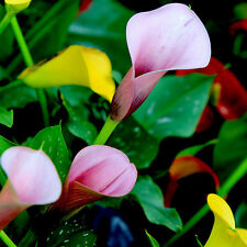 Rare 200Pcs Colorful Calla Lily Flower Seeds Bonsai Potted Plants Home Decor