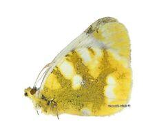 Unmounted Butterfly/Pieridae - Zegris eupheme harandii, FEMALE, Iran