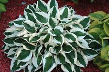 1 Hosta Patriot Green and White Color Root Bulb Perennial Summer Plant