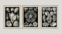 Unframed Sea Shells Print Set of 3 Antique Black and White Bathroom Wall Art