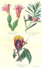 BOTANICALS. Cereus russelianus; podocarpus macrophylla; caryocar nuciferum 1852