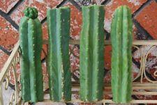 """4 11"""" Cuttings of San Pedro Trichocereus Cactus Cut Fresh"""
