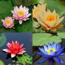 10 seeds 4 color mix Lotus Flower Seed water Aquatic Plant Nelumbo Gift