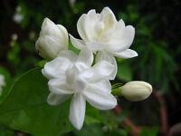25 SEEDS ARABIAN JASMINE JUSMINUM SAMBAC WHITE SHRUB FLOWER SEEDS Multi petal