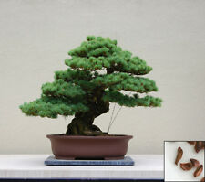 Cryptomeria japonica LOBBII Japanese Cedar SEEDS z5b