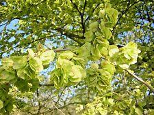 ULMUS CAMPESTRIS alveolo forestale 1 pianta di Olmo campestre