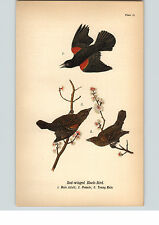 1890 Bird Colored Lithograph Litho Plate Red-Winged Blackbird Male Female Young