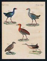 1800 - Wasserhuhn Hühner Ralle Vögel birds Kupferstich engraving Bertuch