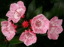 20 graines de LAURIER D'AMERIQUE(Kalmia Latifolia)G807 MOUNTAIN LAUREL SEEDS