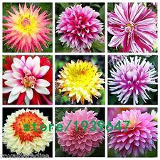 25 Seeds Mixed Decorative Dahlia Mixed Seeds Beautiful Flower Garden Seeds