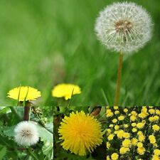 Wild Flower - Taraxacum officinale - Dandelion - 5000 Seeds - Tortoise Food