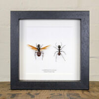 Male and Female Giant Forest Ant in Box Frame (Camponotus gigas)