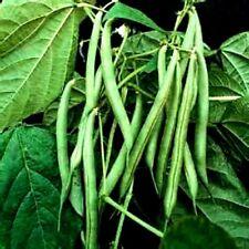 Blue Lake Bush Beans! 30 Seeds -  6