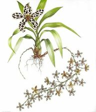 """Grammatophyllum Orchid,"" Watercolor Painting by Dianne Coleman, Limited Edition"