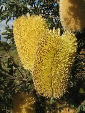 Banksia epica (2 PACK) in 50mm forestry tube native plant rare native plant