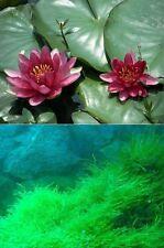 winterharte Wasserpflanzen : Seerose Charl. de Meurville & immergrünes Quellmoos