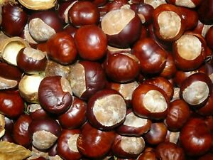 50 CONKERS  HORSE CHESTNUTS  SPIDER DETERRENT  **now reduced to clear stock  **