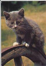 POSTCARD  CATS   Pipkin   (L/S)