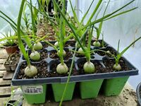 While They Last! Free Exotic Plant! Pregnant Onion! Long Life! - LOOK!